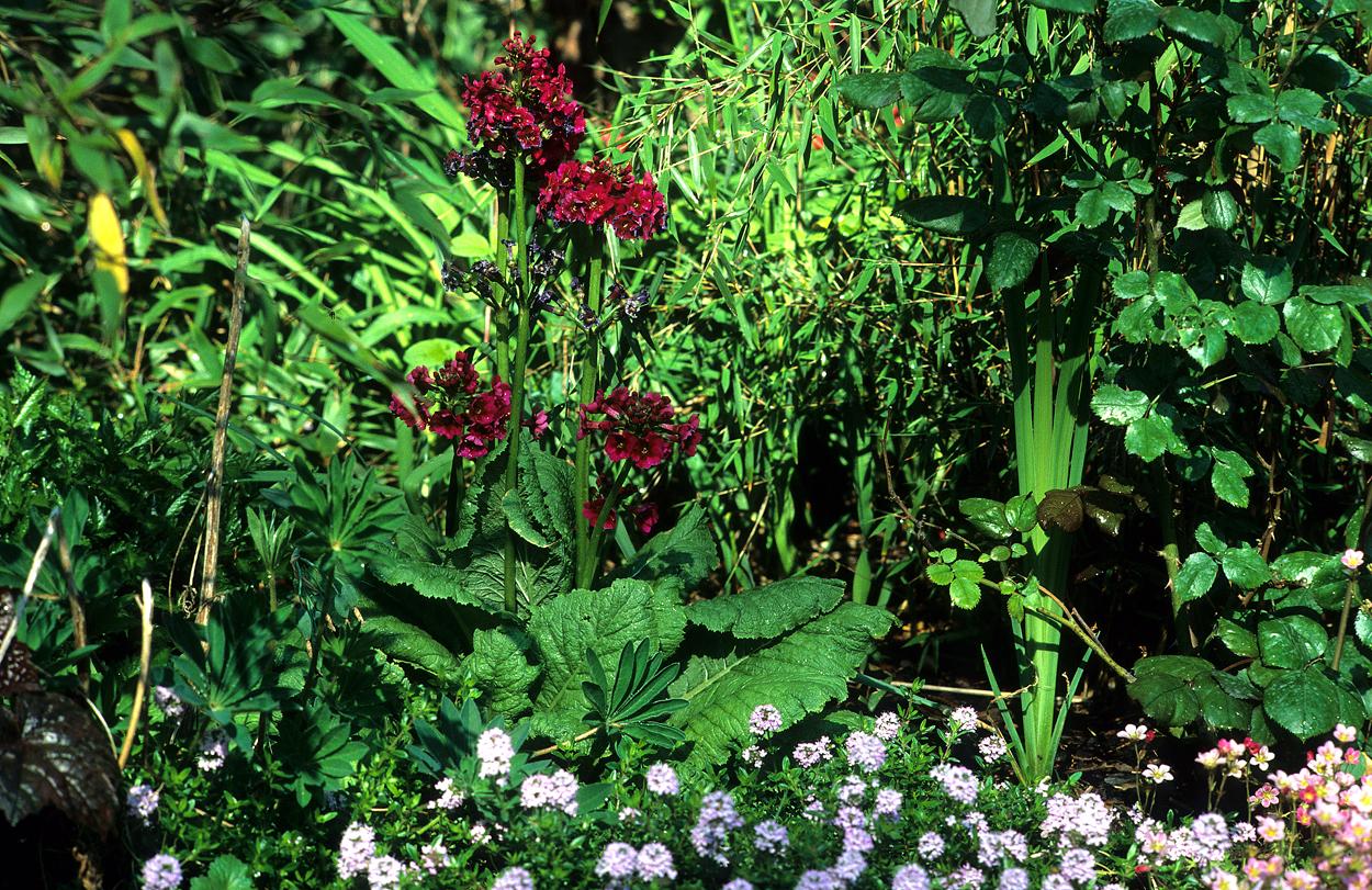 Primula und Thymus