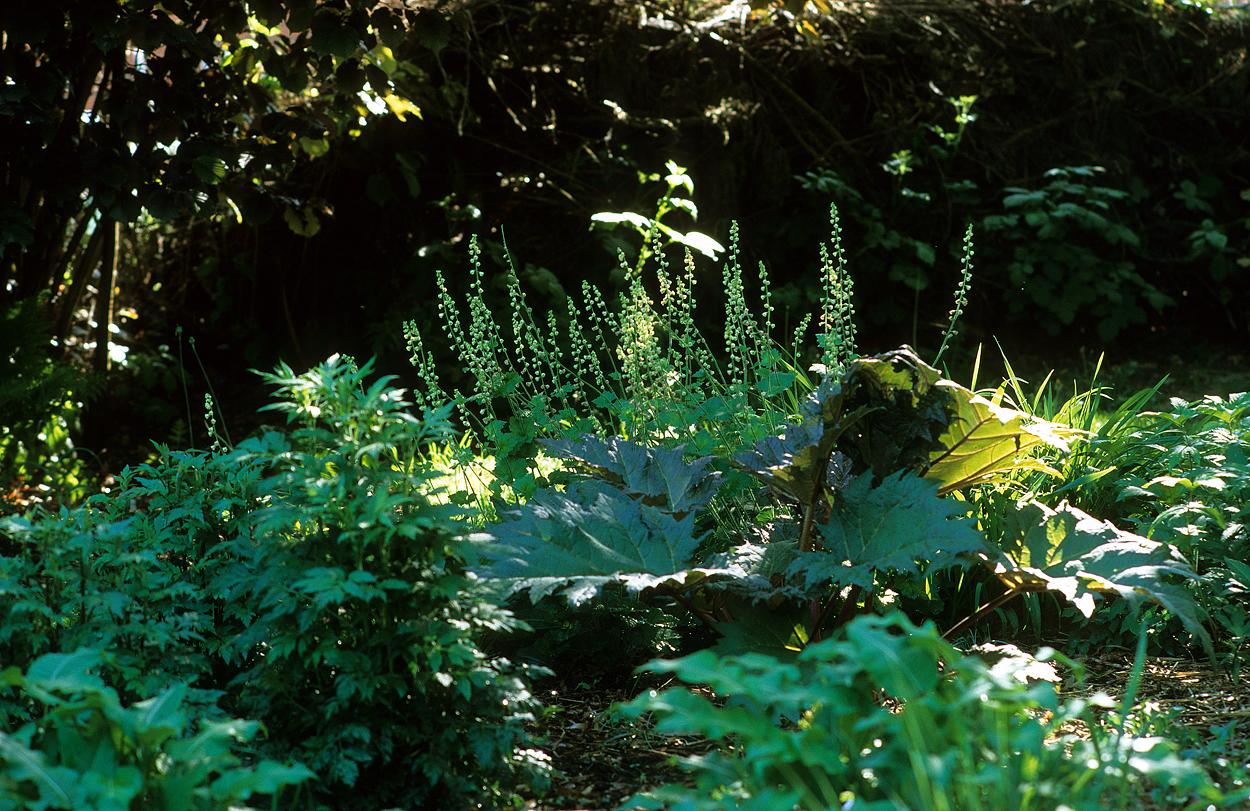 Rheum palmatum und Tellima grandiflora