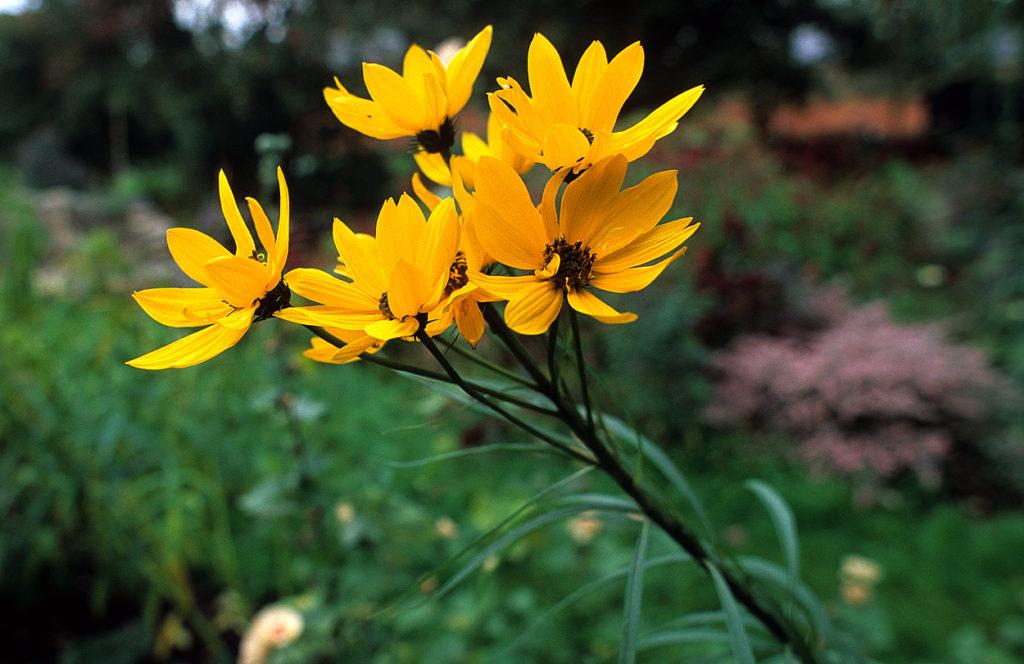 Hier die Blüte von Helianthus salicifolius.
