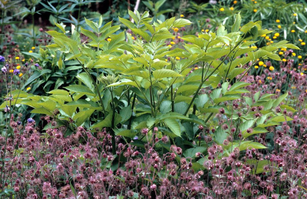 Aralia californica im ersten Jahr umgeben von Geum rivale