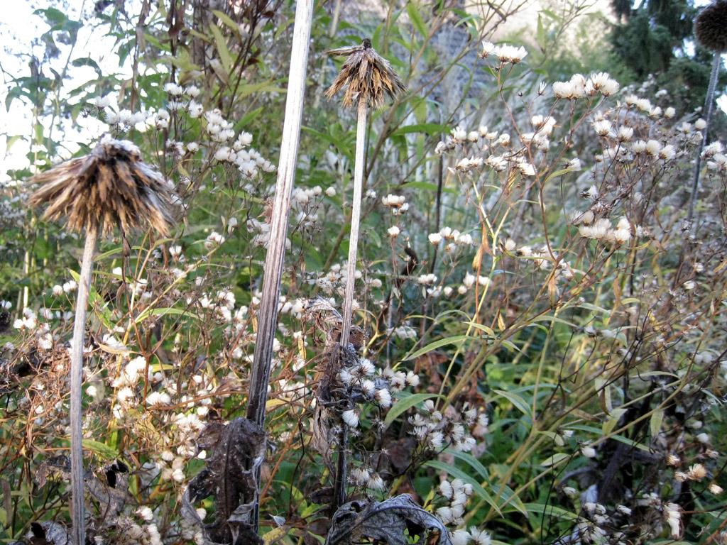 Die Samenstände von Echinops sphaerocephalus (Drüsenblättrige Kugeldistel) und Doellingeria umbellata (Doldige Aster)