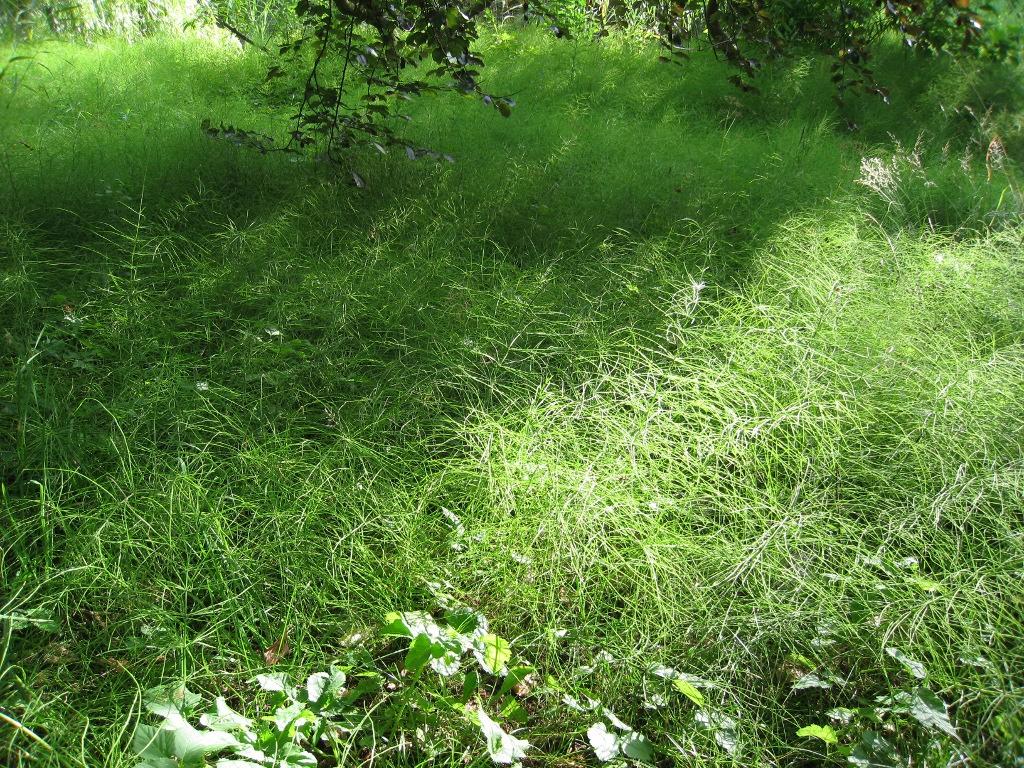 Massenpflanzung von Ackerschachtelhalm - Originell!