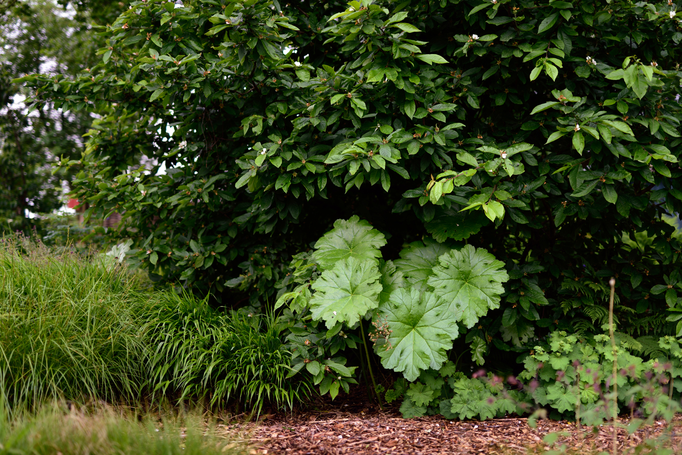 Darmera peltata, Schildblatt, ist durch eine Mispel gewandert (Ende Mai)