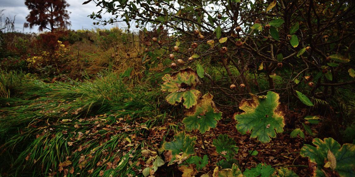 Japanisches Berggras und Schildblatt im Herbst