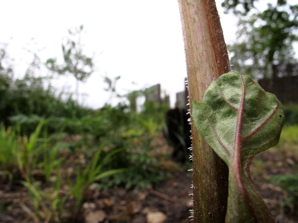 Blütenstiel Darmera peltata