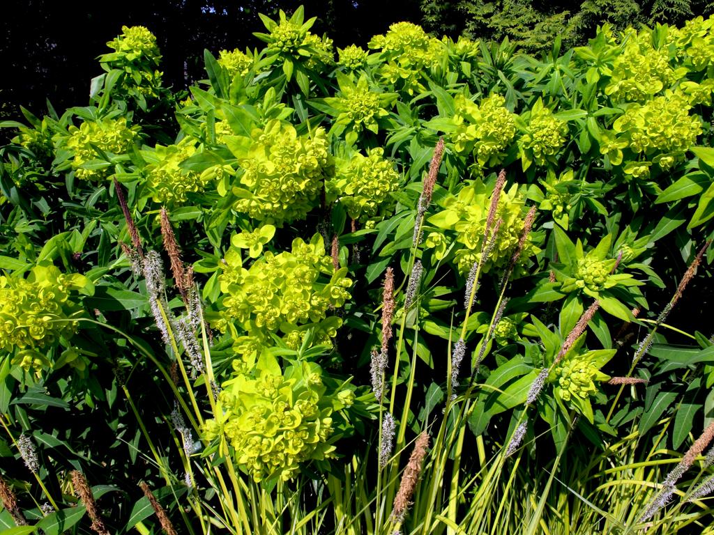 mit Carex elata 'Bowles Golden'