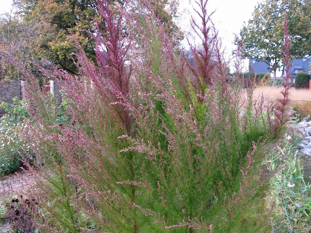 Eupatorium-capillifolium-herbstfaerbung