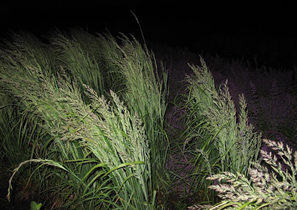 Calamagrostis x acutiflora Karl Foerster