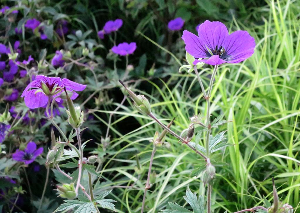 Geranium-Hybride Freies Alst und Carex muskingumensis