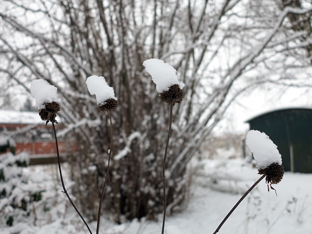 Schnee auf Monarda