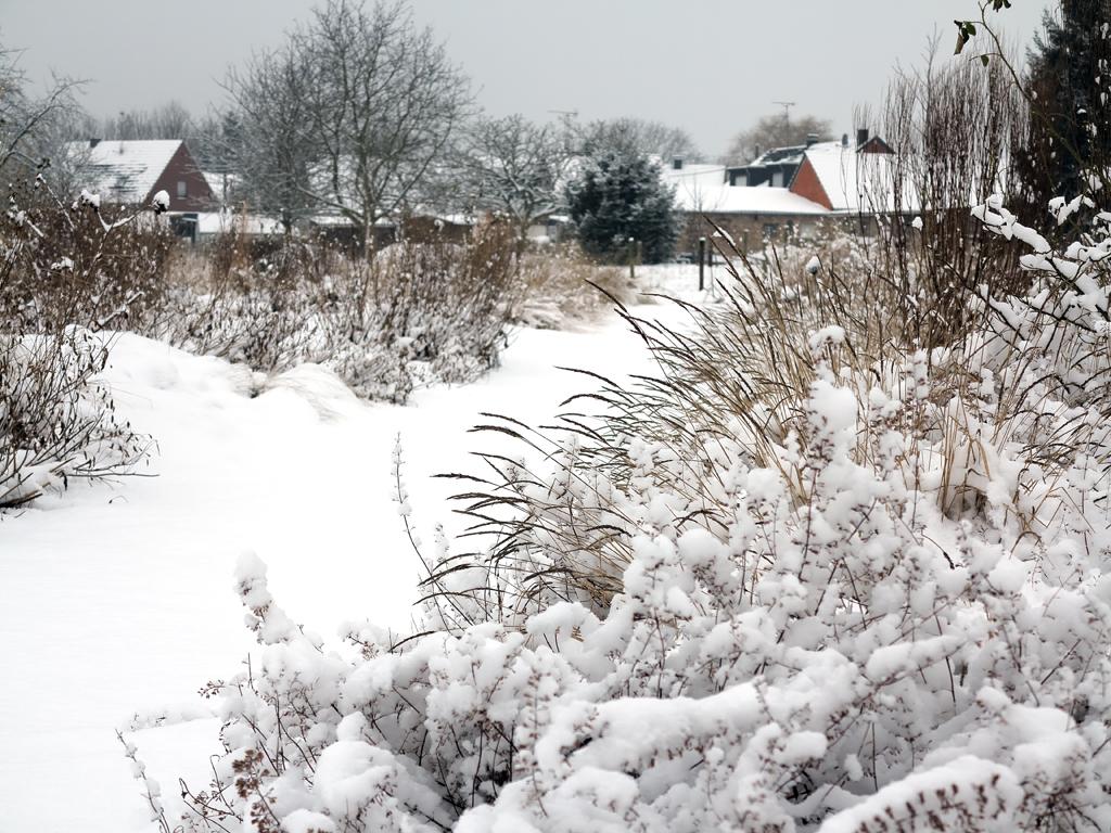 Sesleria autumnalis im Schnee