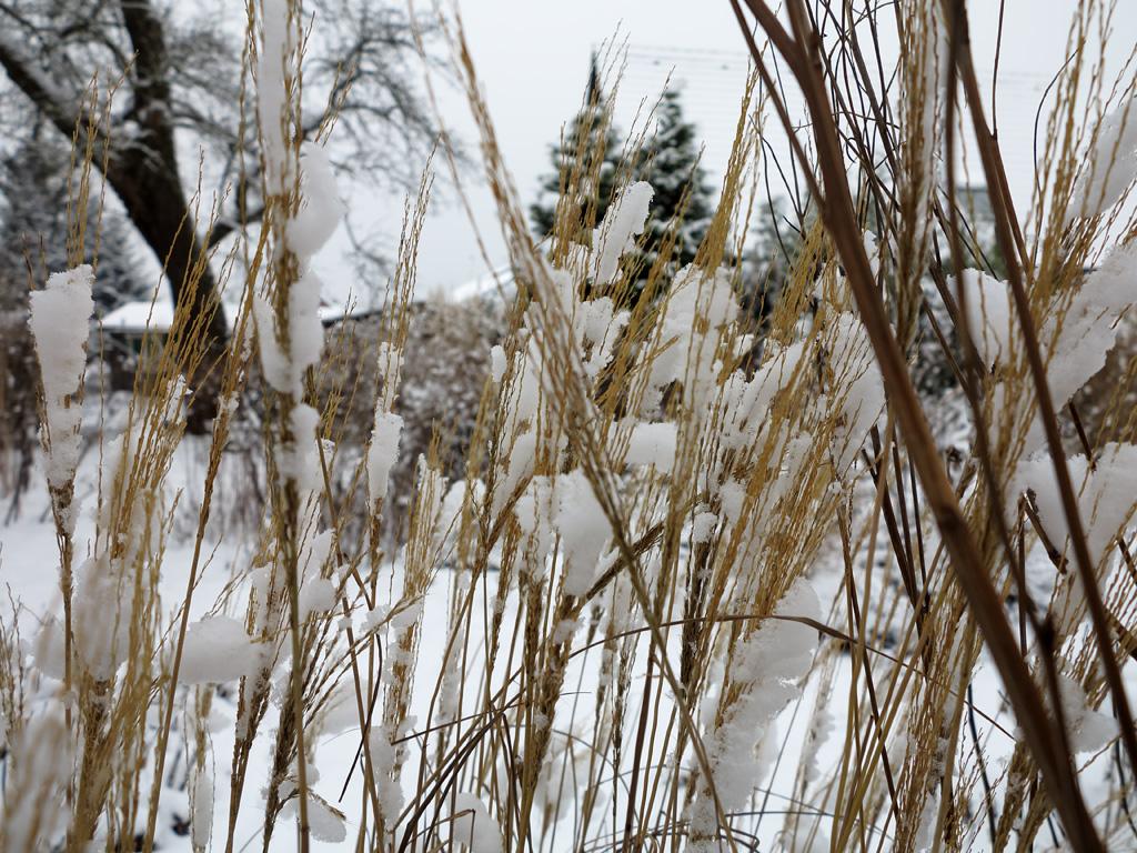 Miscanthus sinensis Yakushima Dwarf im Schnee