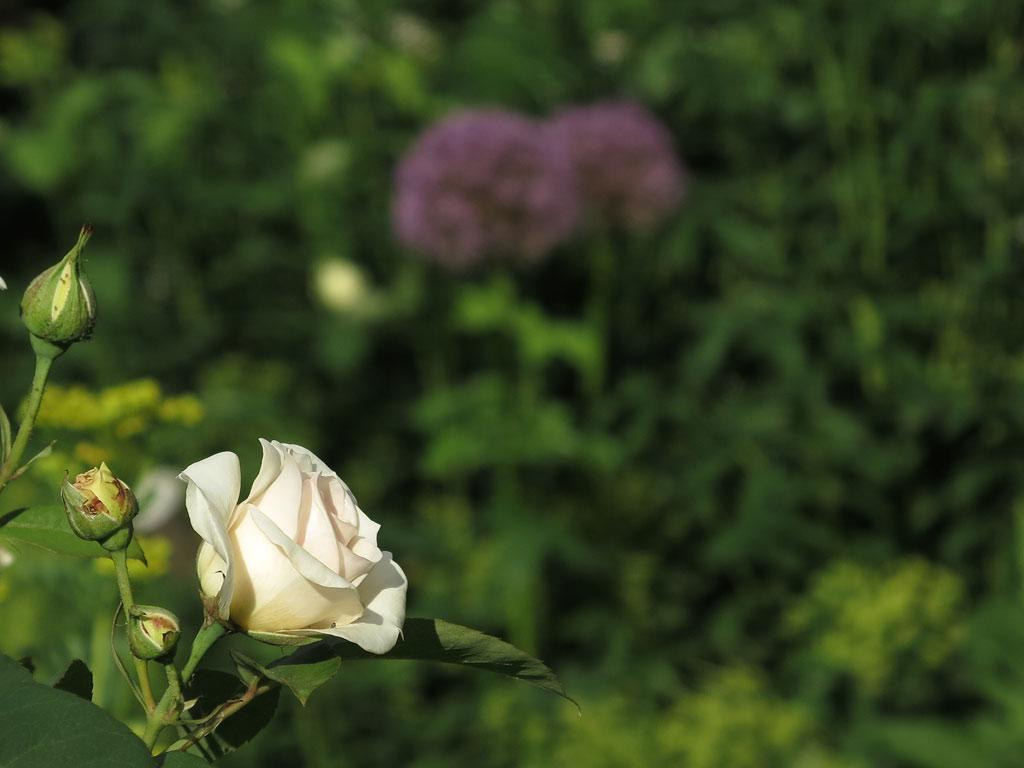 Rose Evelyn