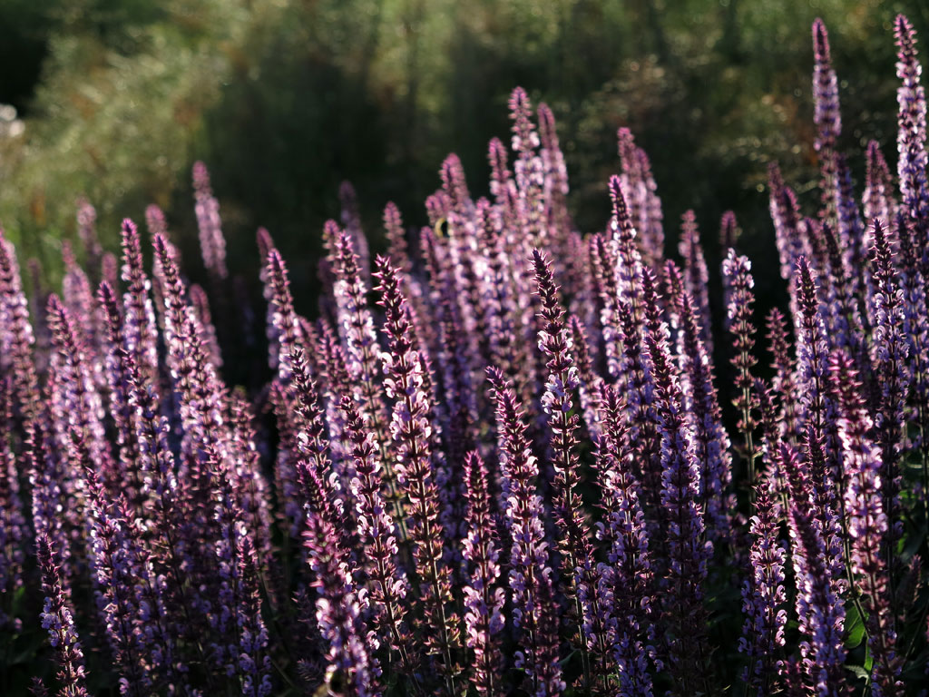 Sämling Salvia nemorosa