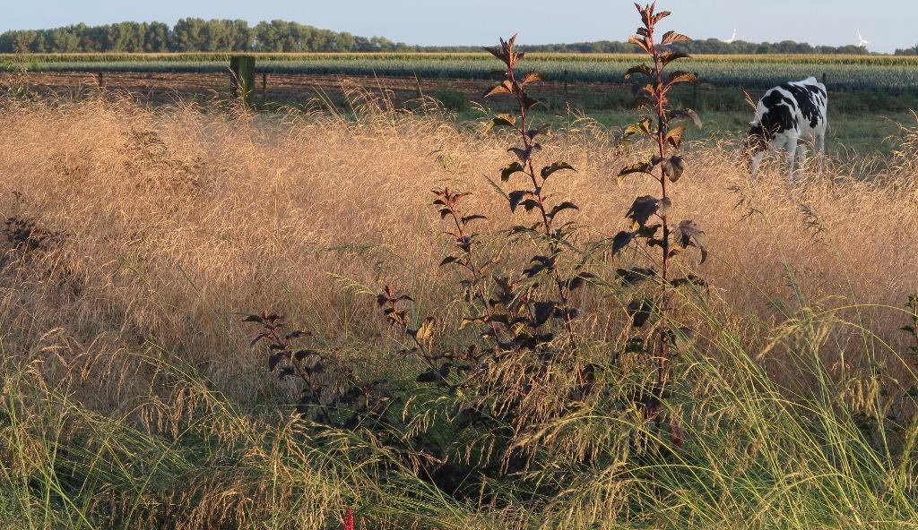 physocarpus-opulifolius-diabolo