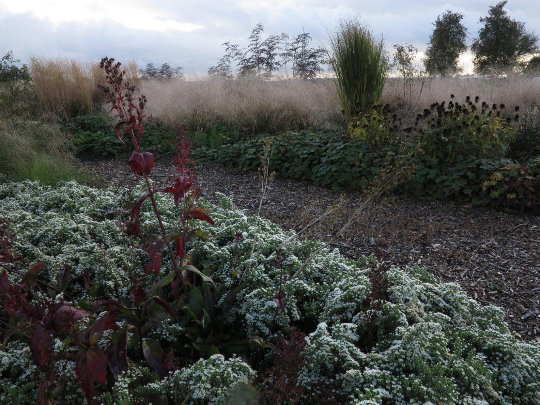 Symphyotrichum ericoides var. prostratum 'Snow Flurry', Penstemon digitalis 'Mystica' und im Hintergrund das Herbstbild von Rasen-Schmiele