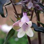 Blüte Detail Mystica