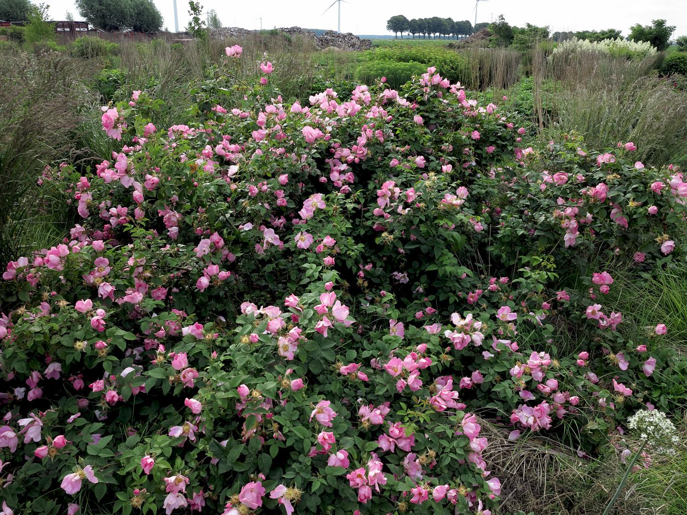 Rosa gallica Complicata Blüte