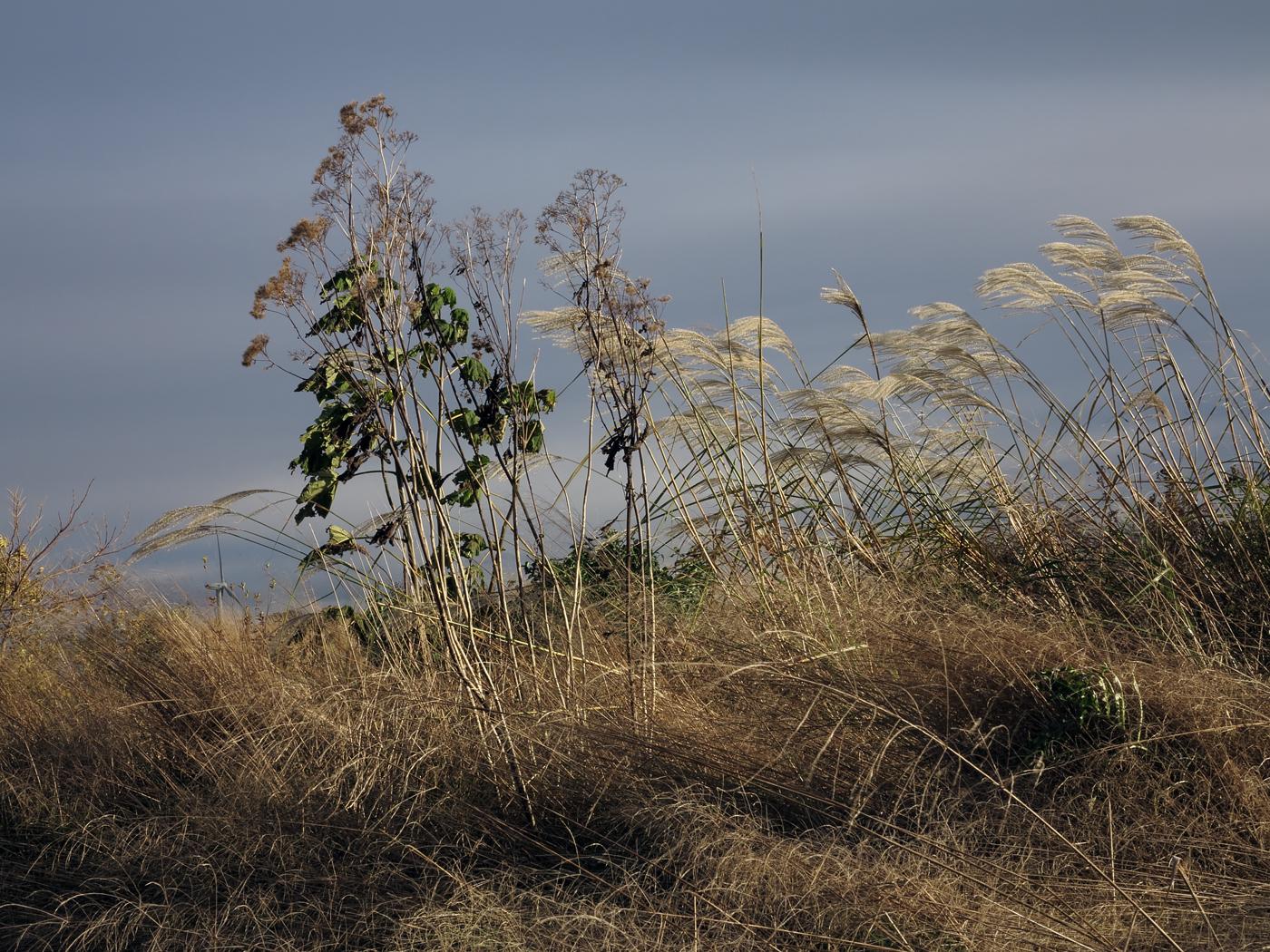 Paulownia tomentosa Hulsdonk