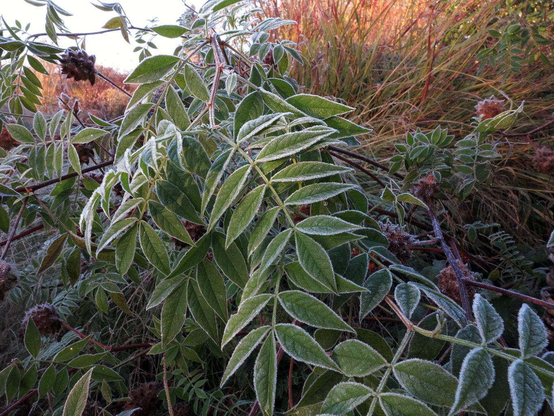 Glycyrrhiza yunnanensis mit Raureif