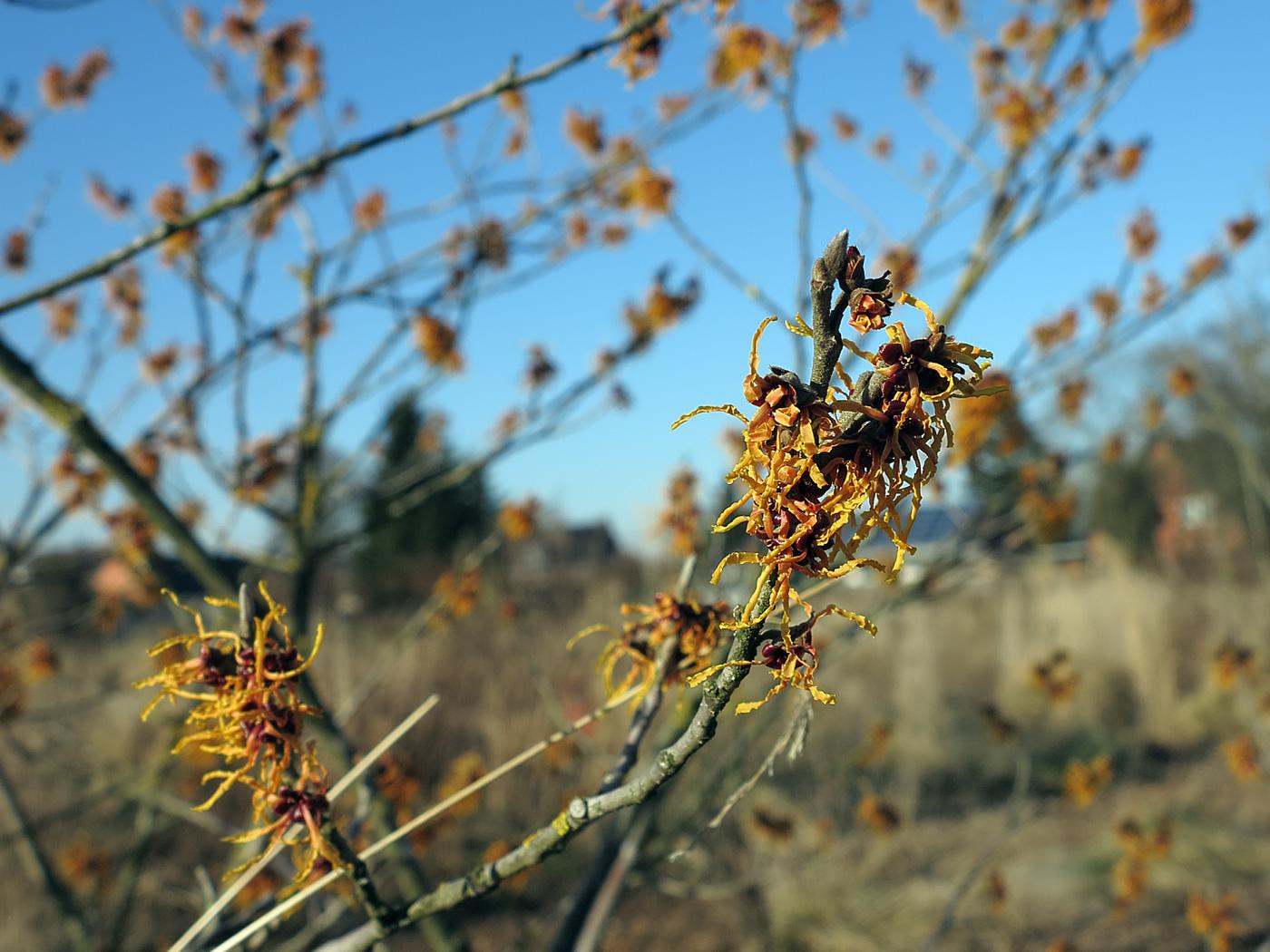 Blüte Hamamelis × intermedia Vesna