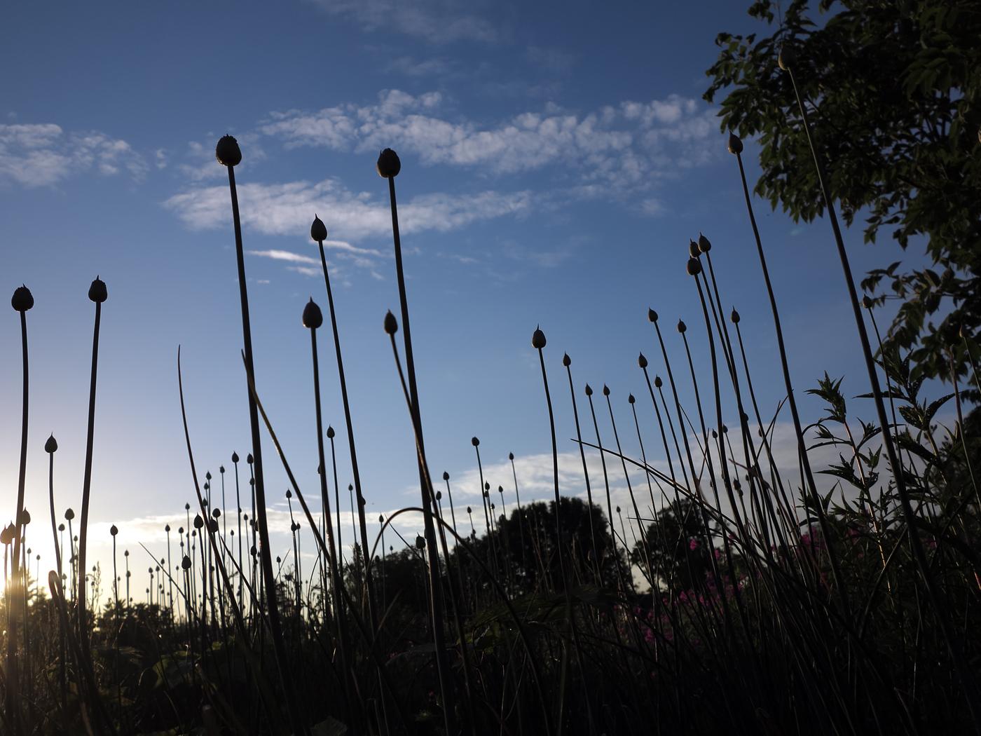 Allium sphaerocephalon aus Froschperspektive