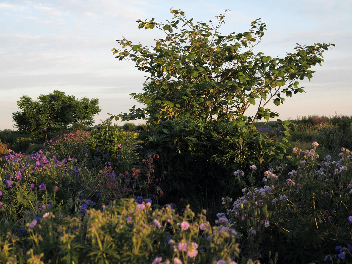 Hamamelis × intermedia Vesna