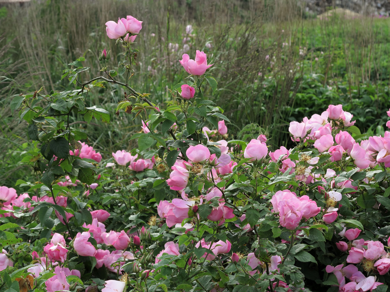 Rosa gallica Complicata