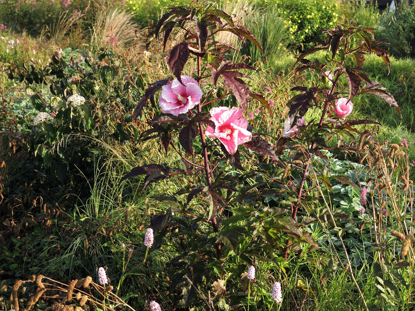 Hibiscus moscheutos 'Summer Storm'