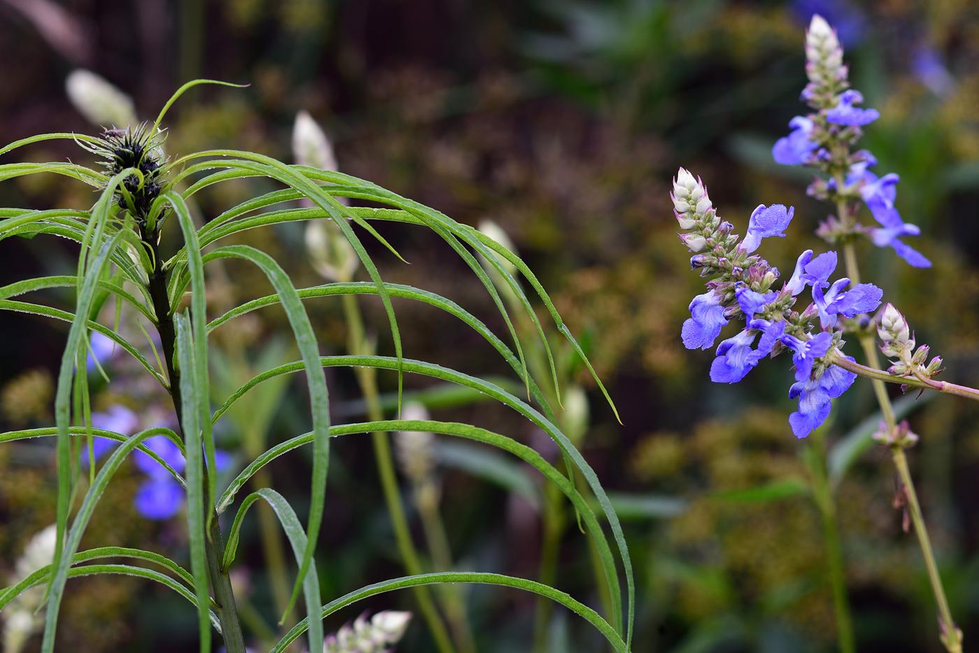 Salvia uliginosa mit Helianthus salicifolius