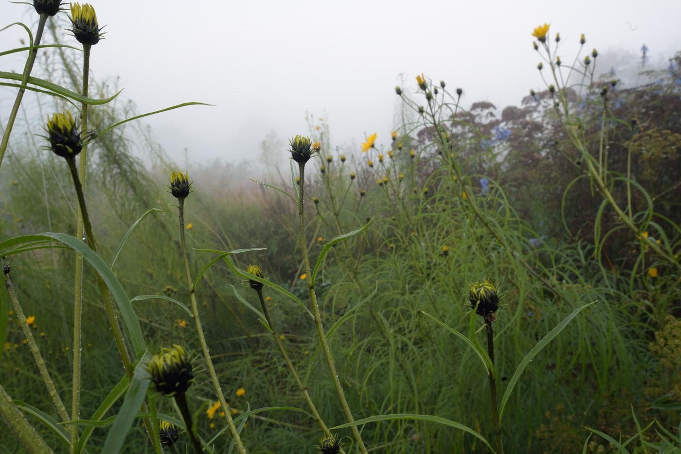 Hippieblumen kurz vor der Blüte