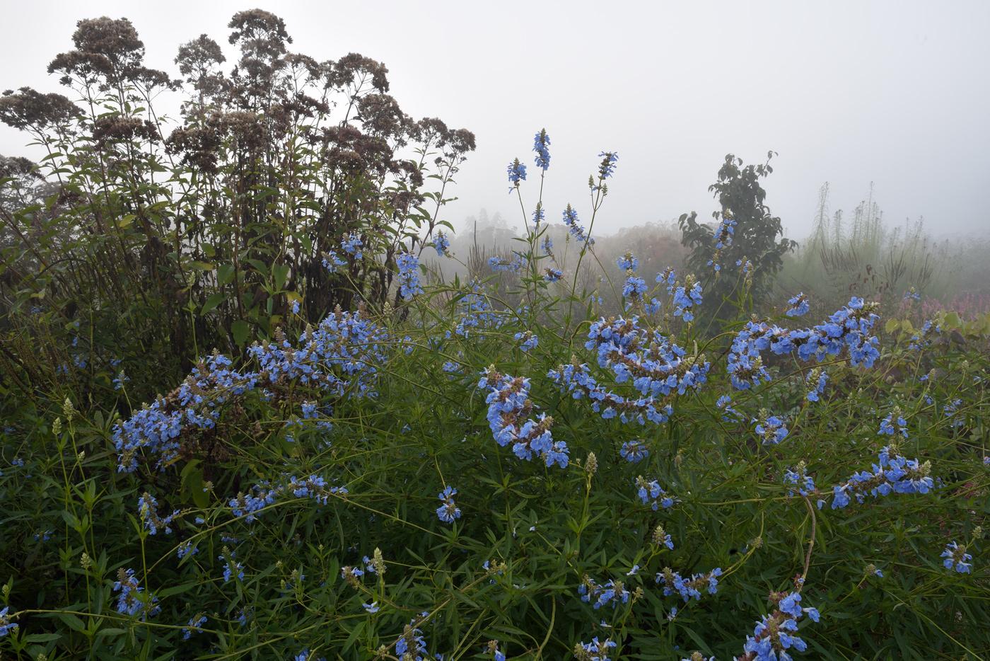 Salvia uliginosa ist am Niederrhein gut winterhart