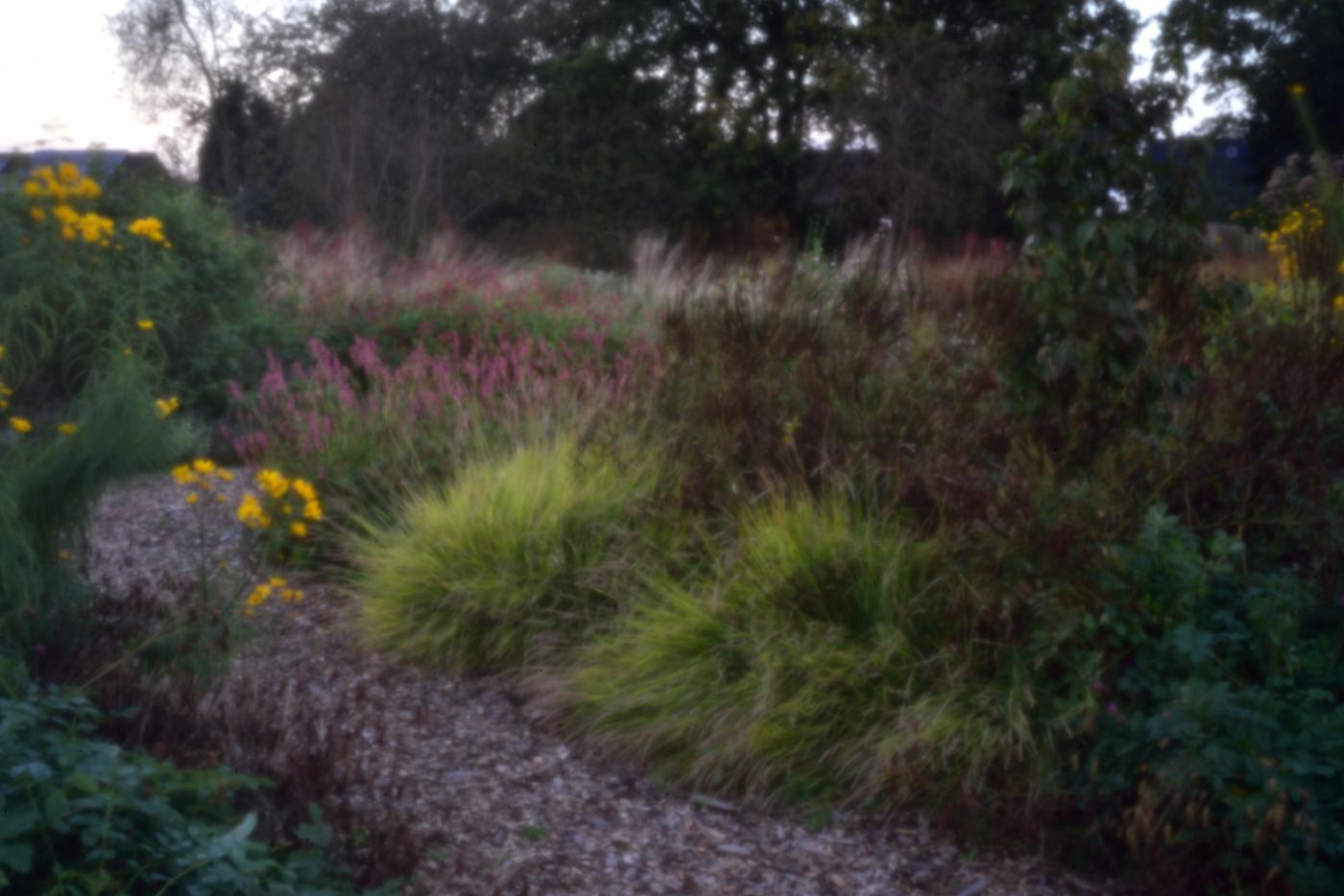 Sesleria autumnalis zeigt besonders abends seine leuchtende Farbe