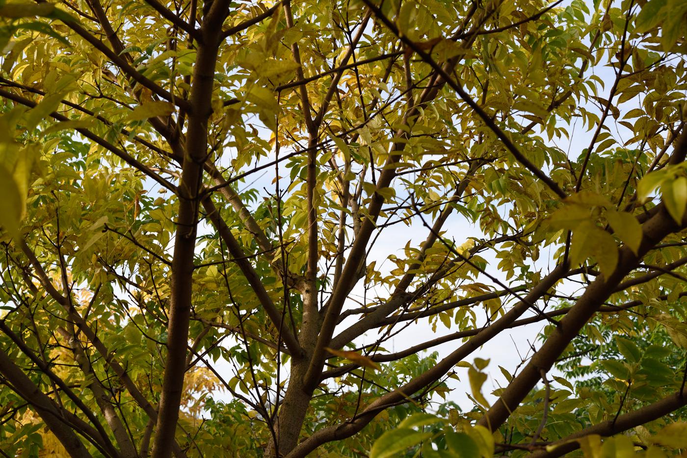 Blick in die Krone Phellodendron amurense