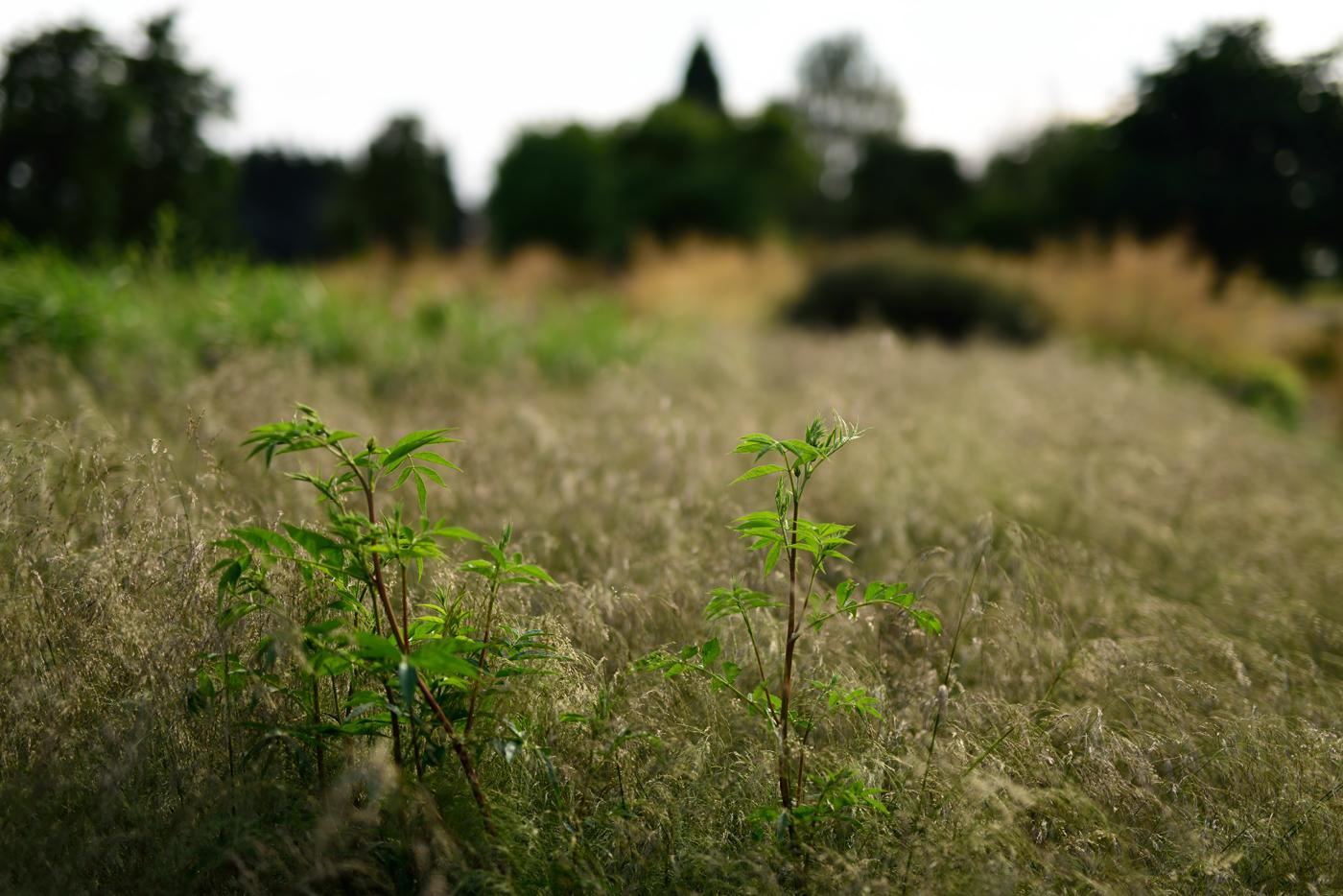 Der frische Austrieb vom Chinesischen Süßholz (Glycyrrhiza yunnanensis) in Rasen-Schmiele