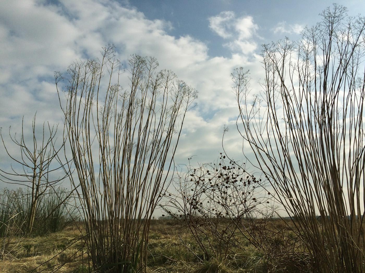 Glycyrrhiza yunnanensis und Eutrochium f.