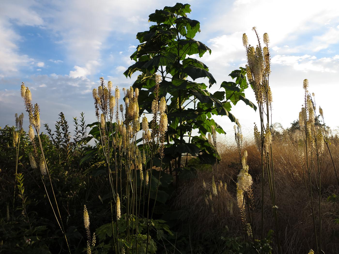 Paulownia tomentosa 'Hulsdonk'