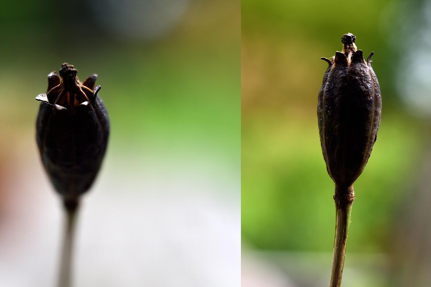 Samenstand von Meconopsis cambrica