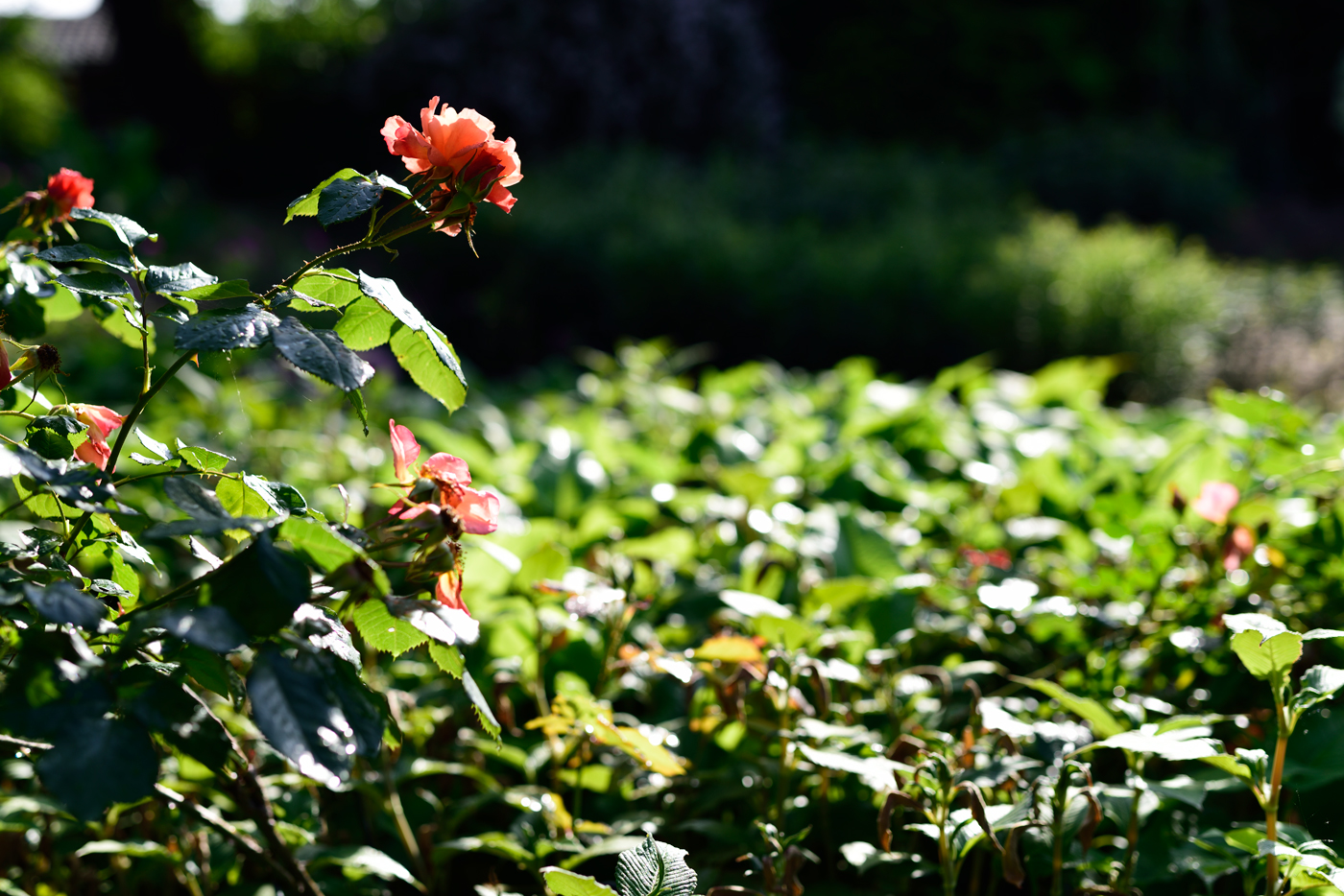 Rose 'Westerland'
