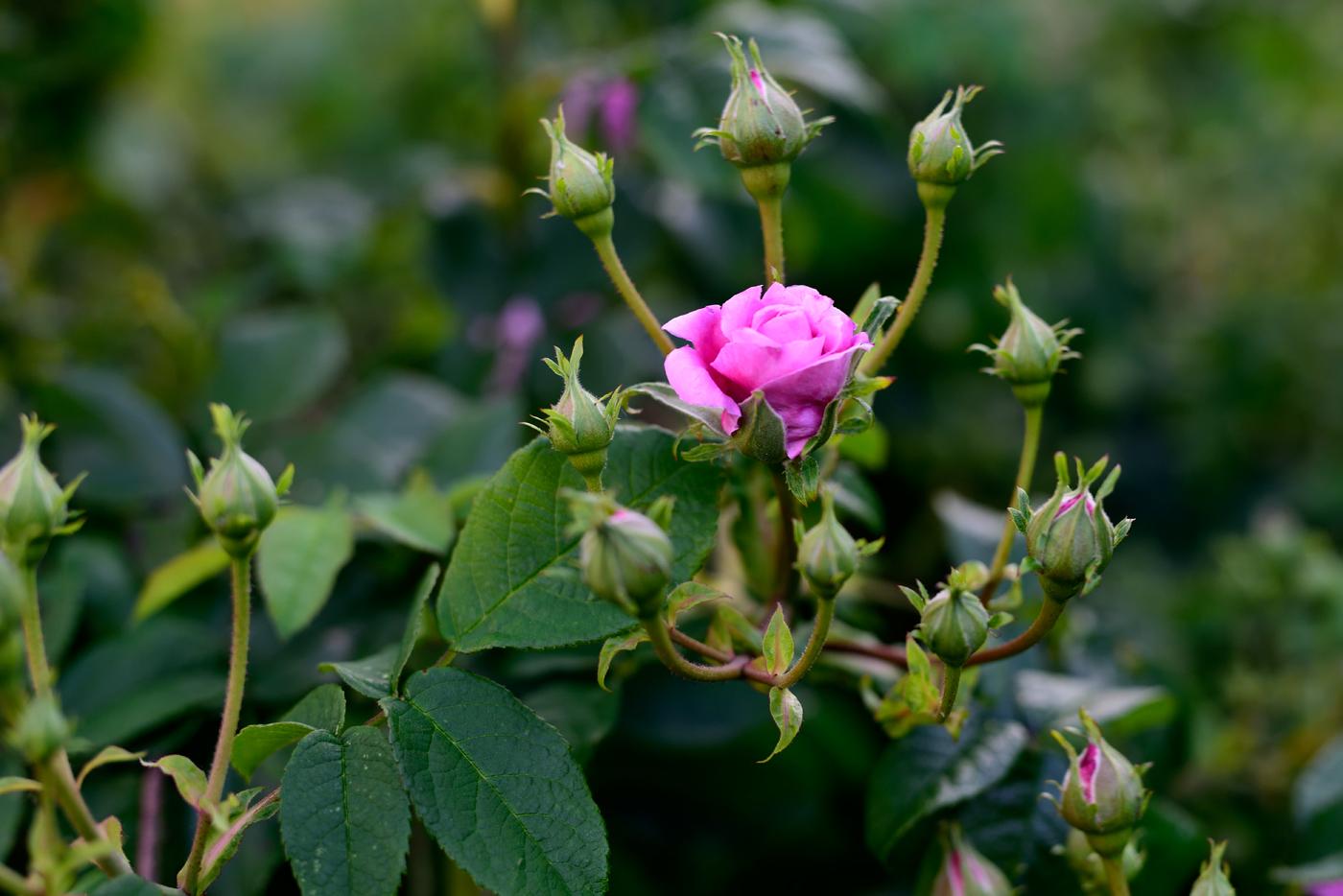 Rose Ispahan