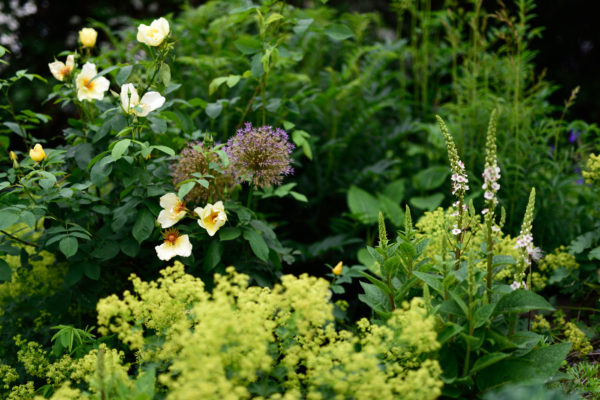 Verbascum c. 'Album' mit Frauenmantel, Allium und der Rose 'Golden Wings'
