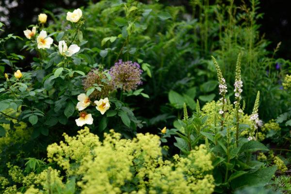 Verbascum c. 'Album' mit Frauenmantel, Allium und der Rose 'Golden Wings'