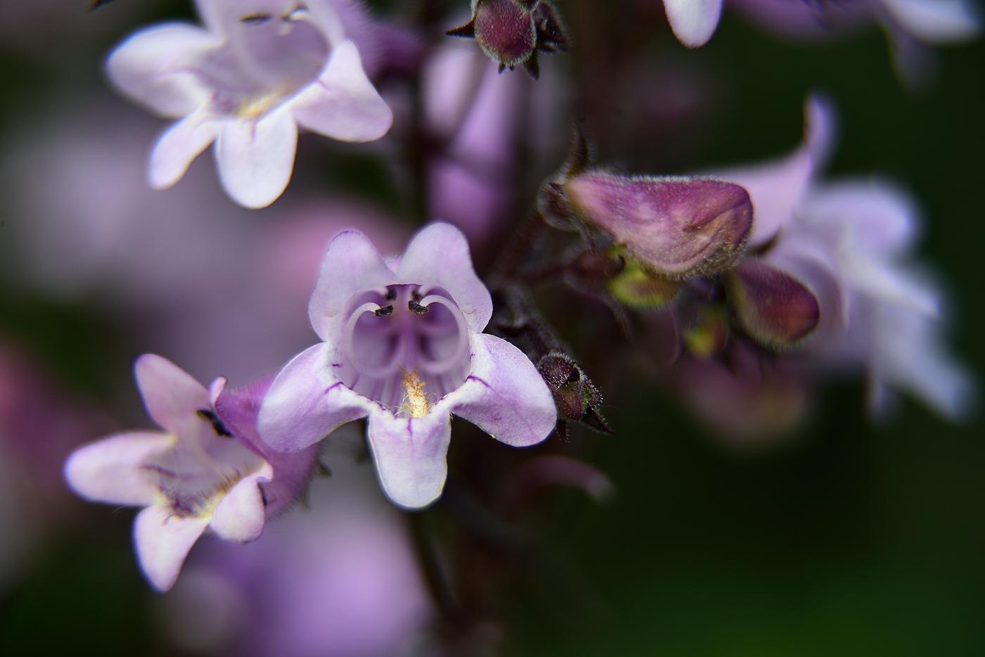 Blüte Kolkwitzia amabilis