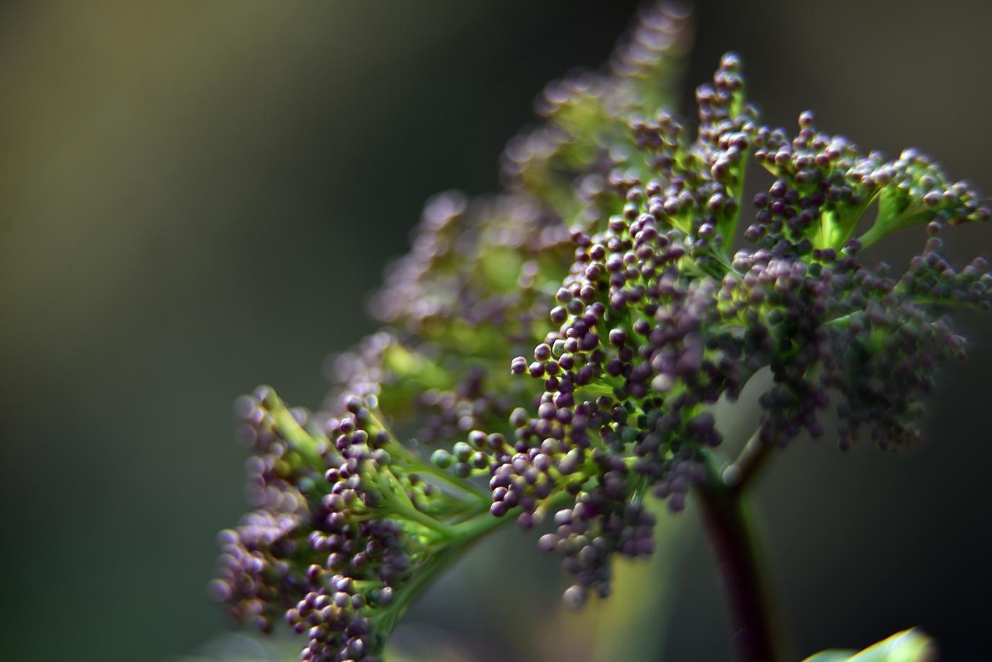 Filipendula rubra 'Venusta Magnifica'