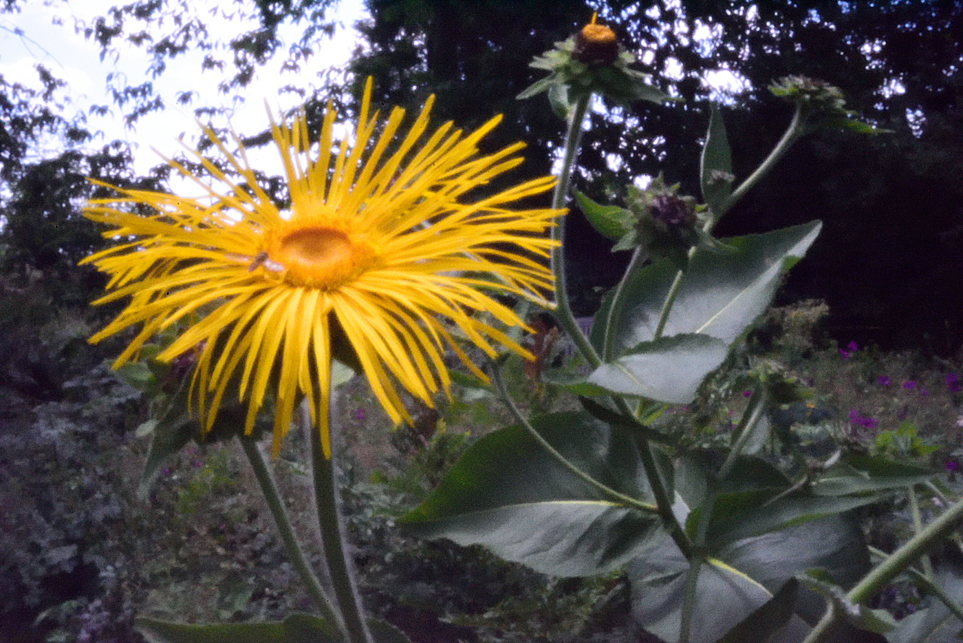 Inula magnifica 'Sonnenstrahl'