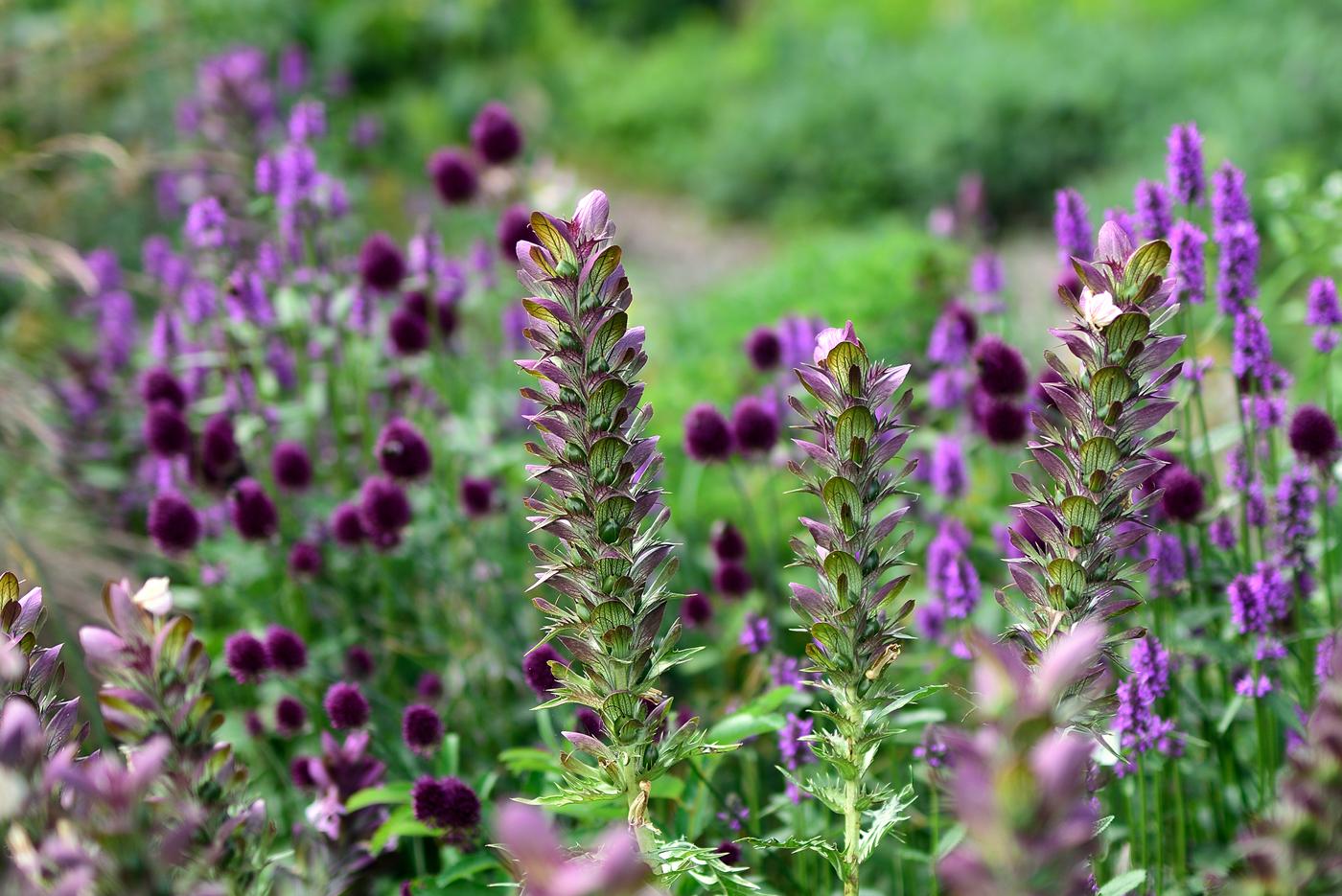 Acanthus s. nach der Blüte