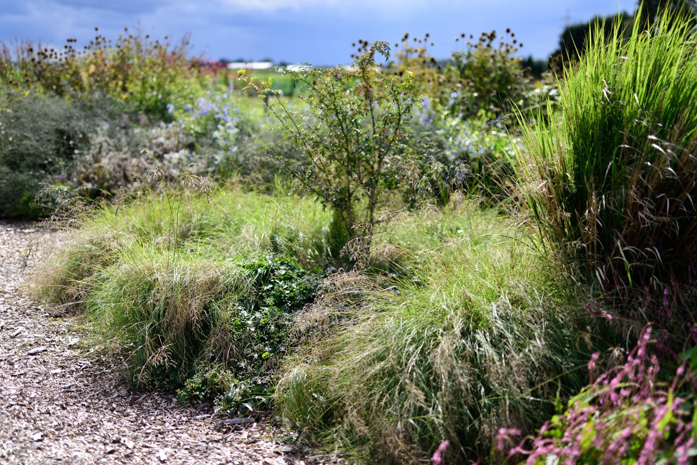 Eragrostis curvula mit Clematis x jouiniana 'Praecox', Panicum v. 'Northwind', Bistorta a. 'Rowden Gem' und Zanthoxylum armatum