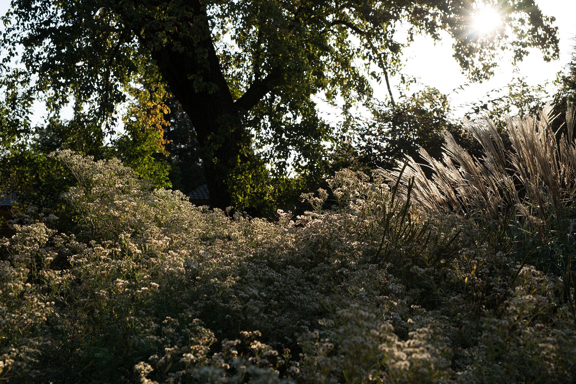 Doellingeria umbellata 'Weißer Schirm' (Doldige Aster) und Miscanthus sinensis 'Samurai'