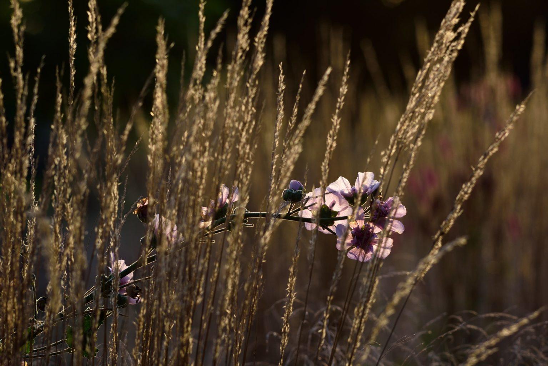 Spiel mit der Transparenz vom Garten-Reitgras: Alcalthaea (×) suffrutescens 'Parkfrieden'