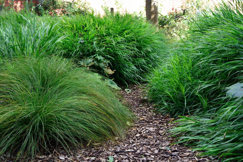 Drei unentbehrliche Gartengräser: Carex morrowii var. temnolepis, Hakonechloa macra und Carex muskingumensis